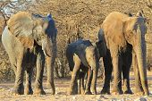 image of tusks  - Three generations of African Elephant stand next to each other - JPG