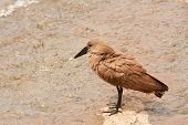 Hamerkop Scopus Umbretta Bird In South Africa