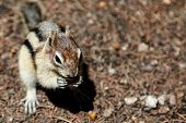 stock photo of chipmunks  - Chipmunk eating - JPG