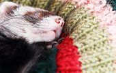 foto of ferrets  - Sable ferret sleeping on crocheted pillow - JPG