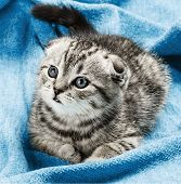 stock photo of scottish-fold  - Scottish fold kitten lying on the bed - JPG
