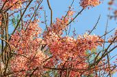 stock photo of cassia  - pink cassia or pink shower are blooming with clear sky - JPG