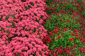 Field Of Pink And Red Mums