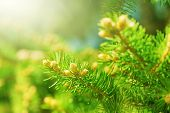 pic of coniferous forest  - Young shoots of pine trees in the forest spring - JPG