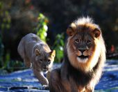 picture of foodchain  - The king watches while the lioness springs to action in the background