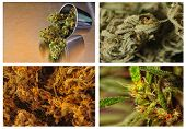 stock photo of drug dealer  - Beautiful collage or Collection of four strains of marijuana - JPG