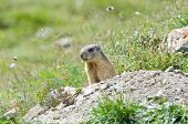 pic of marmot  - Wild marmot stands guard in the mountains