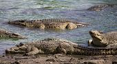 stock photo of crocodile  - Crocodiles at the crocodile