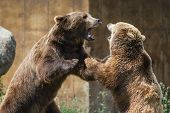stock photo of domination  - two young adult grizzly bears playing aggressively establishing dominance - JPG