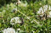 pic of moon-flower  - A honeybee on sat on a clover flower in a garden in England  - JPG