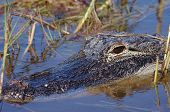 picture of marshlands  - Alligator - JPG