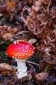 picture of hallucinogens  - Fly agaric mushroom growing on forest floor - JPG