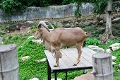 picture of billy goat  - The beautiful brown Goat in zoo Thailand - JPG