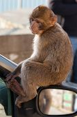 pic of gibraltar  - Gibraltar Monkeys or Barbary Macaques tourist attraction at the Monkey - JPG