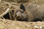 stock photo of wild hog  - wild boar  - JPG