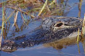 picture of marshlands  - Alligator - JPG