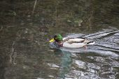 picture of male mallard  - Mallard  - JPG