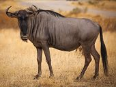 picture of veld  - Wildebeest close up looking at camera on Safari in Africa - JPG