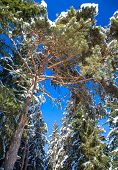 picture of coniferous forest  - Snowy coniferous tree in the forest - JPG