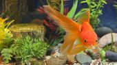 picture of fantail  - Red Fantail hardy fancy gold fish in planted aquarium - JPG
