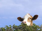 English Cow Looking Over Hedge poster