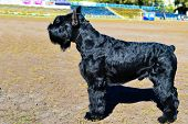 stock photo of schnauzer  - Giant schnauzer in on the city cmpetition - JPG