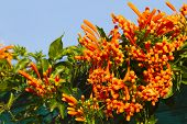 picture of trumpet flower  - Pyrostegia venusta or Orange trumpet flowers and blue sky background - JPG