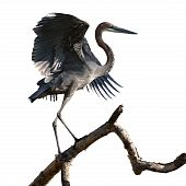 Goliath Heron On Branch