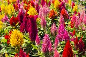 pic of celosia  - Cockscomb flower  - JPG