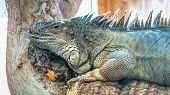foto of giant lizard  - A giant lizard quietly sitting on the branch of a tree