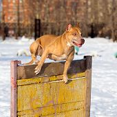 image of pit-bull  - Dog breed American Pit Bull Terrier jumps over hurdle - JPG