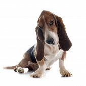 picture of bloodhound  - basset hound in front of white background - JPG