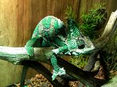 picture of chameleon  - A close - JPG