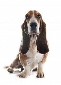 stock photo of bloodhound  - basset hound in front of white background - JPG