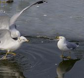 pic of reaction  - The crazy fight of two gulls and reaction of the witness