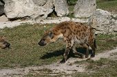 pic of hyenas  - a picture of a hyena walking around - JPG