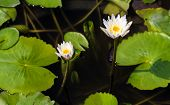 picture of water bug  - Two white water lily on the dark water with their green leafs - JPG