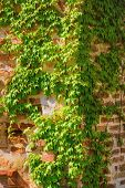 foto of ivy  - Corner of a Brick Wall Covered by Ivy - JPG
