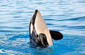 pic of grampus  - Killer whale in Loro Parque - JPG