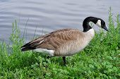 picture of canada goose  - Canada Goose standing on weeds on lake shore - JPG