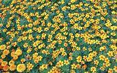 stock photo of marigold  - Lot of bright orange marigold flowers on a field - JPG