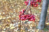 pic of rowan berry  - Red bunches of rowan berries in late autumn - JPG