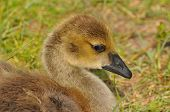 stock photo of baby goose  - Close up of Canada Goose gosling taking a sunbath - JPG