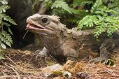pic of tuatara  - a tuatara in the enclosure at the national aquarium of new zealand - JPG