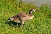 image of canada goose  - Olde Canada Goose Gosling  - JPG