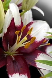 """pic of asiatic lily  - Hybrid Asiatic lily that is often referred to as """"cappuccino"""" on a black background. ** Note: Shallow depth of field - JPG"""