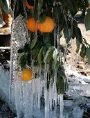 stock photo of frostbite  - Oranges covered in icicles afters overnight freeze - JPG