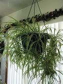 foto of baby spider  - hanging spider plant    - JPG