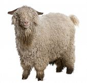 Angora goat in front of white background