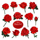 Rose Flower Set Of Blooming Plant. Garden Rose Isolated Icon Of Red Blossom, Petal And Bud With Gree poster